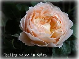 rose107.jpg