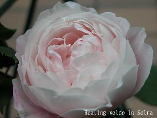 rose108.jpg