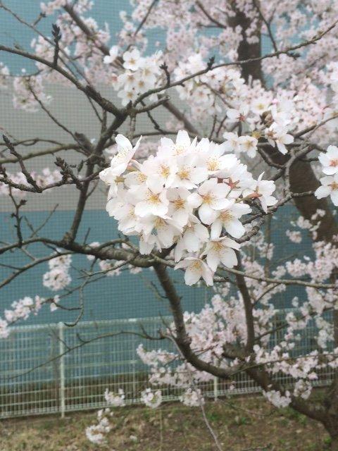 景子ちゃんの桜写真