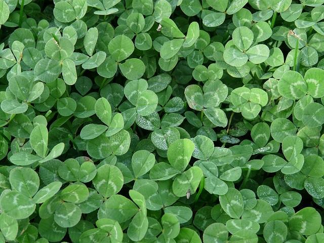 clover2.jpg